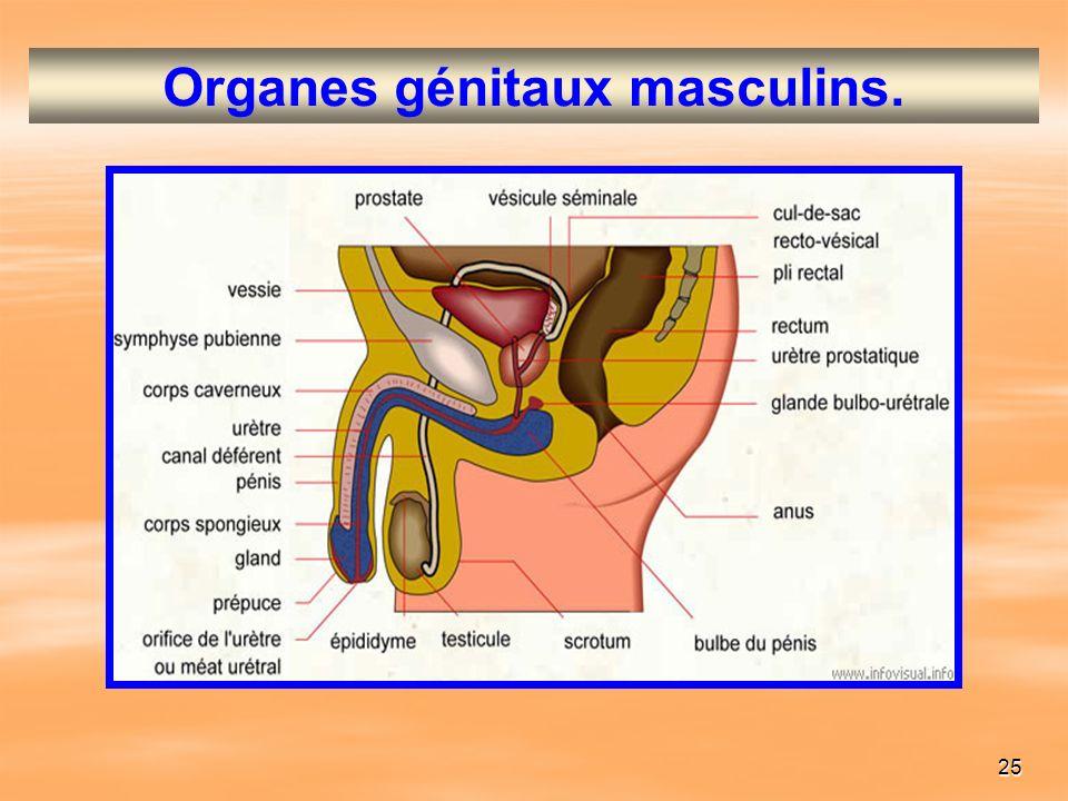 Organes génitaux masculins.