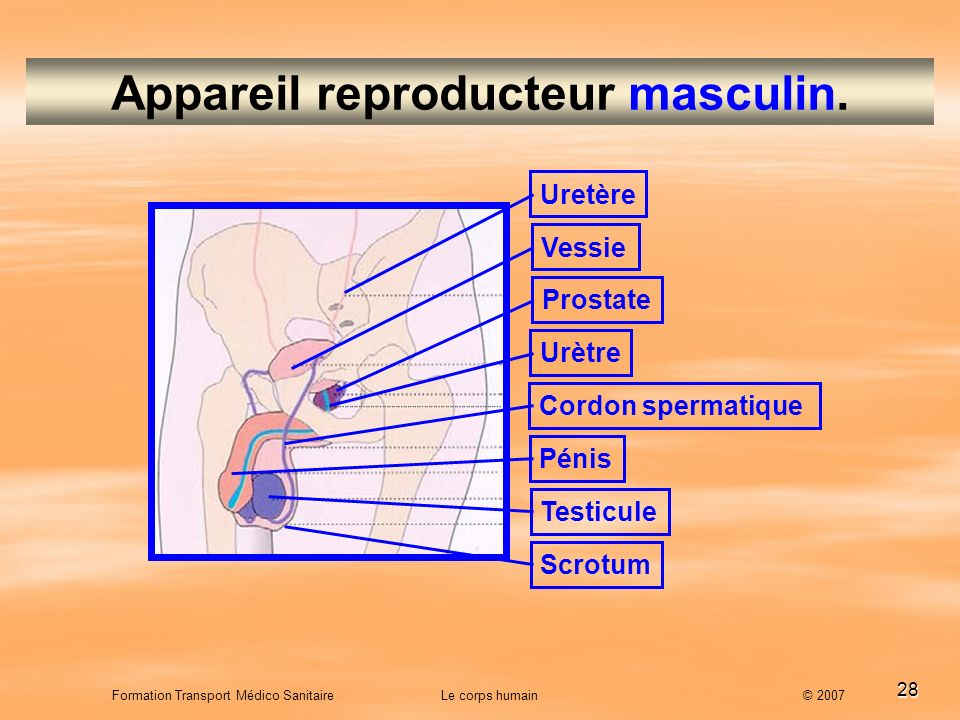 Appareil reproducteur masculin.