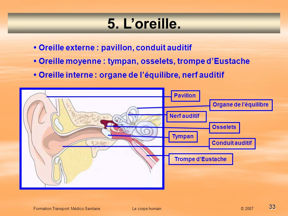 5. L'oreille. • Oreille externe : pavillon, conduit auditif