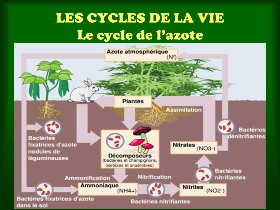 LES CYCLES DE LA VIE Le cycle de l'azote