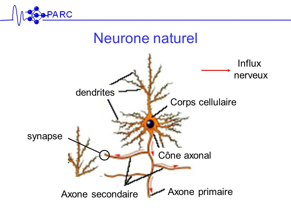 Neurone naturel Influx nerveux dendrites Corps cellulaire synapse