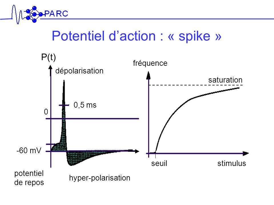 Potentiel d'action : « spike »