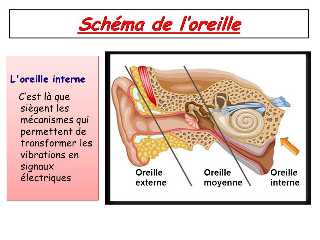 Schéma de l'oreille L oreille interne C'est là que siègent les mécanismes qui permettent de transformer les vibrations en signaux électriques