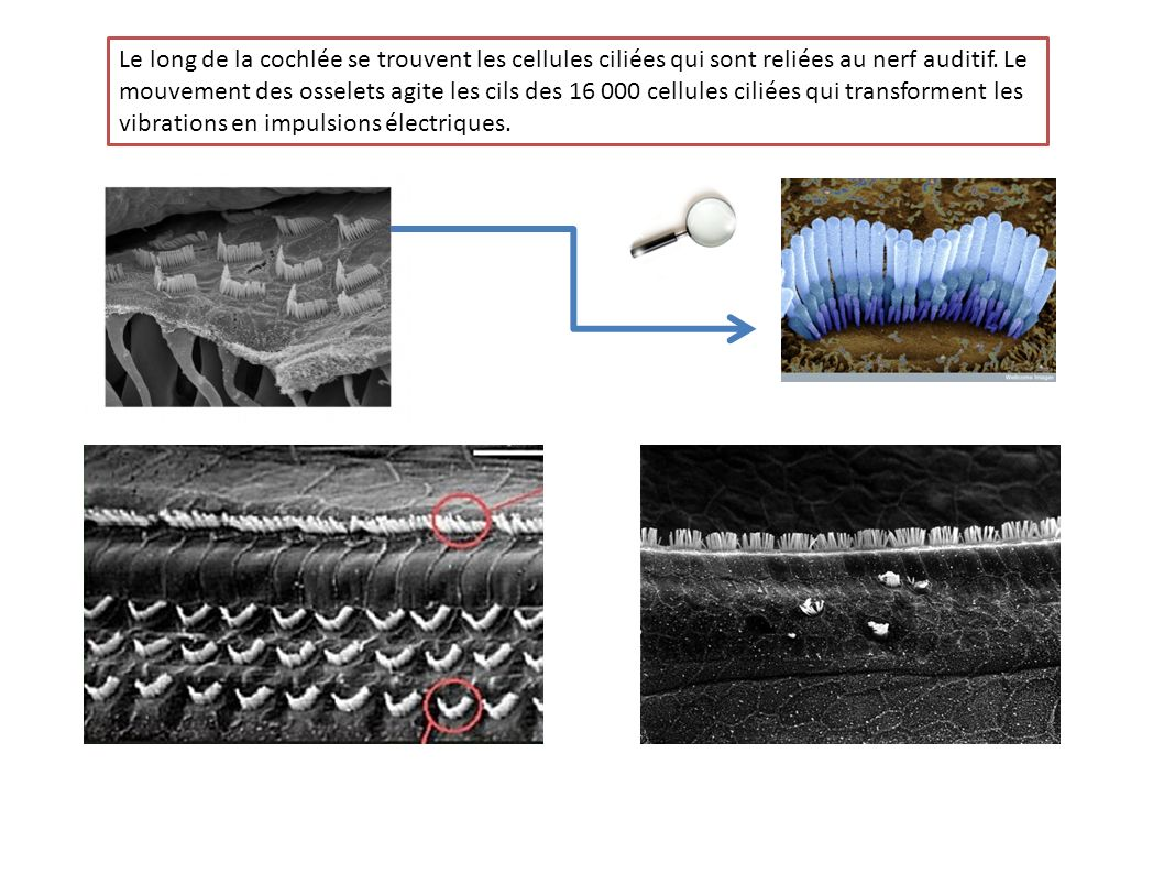 Le long de la cochlée se trouvent les cellules ciliées qui sont reliées au nerf auditif.