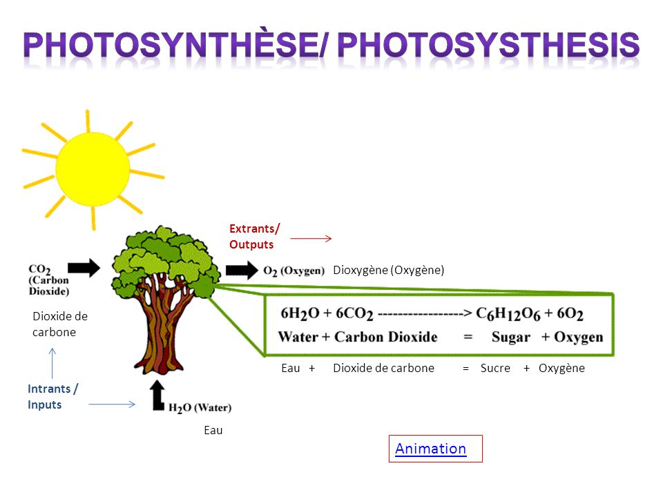 Photosynthèse/ Photosysthesis