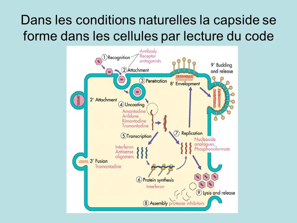 Dans les conditions naturelles la capside se forme dans les cellules par lecture du code