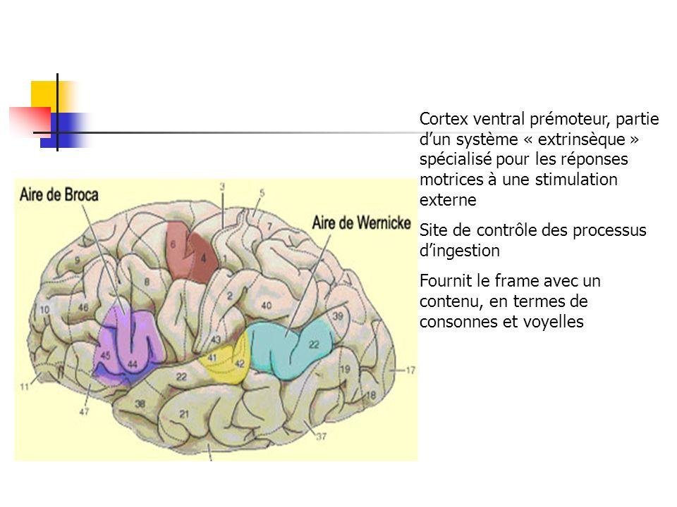 Cortex ventral prémoteur, partie d'un système « extrinsèque » spécialisé pour les réponses motrices à une stimulation externe