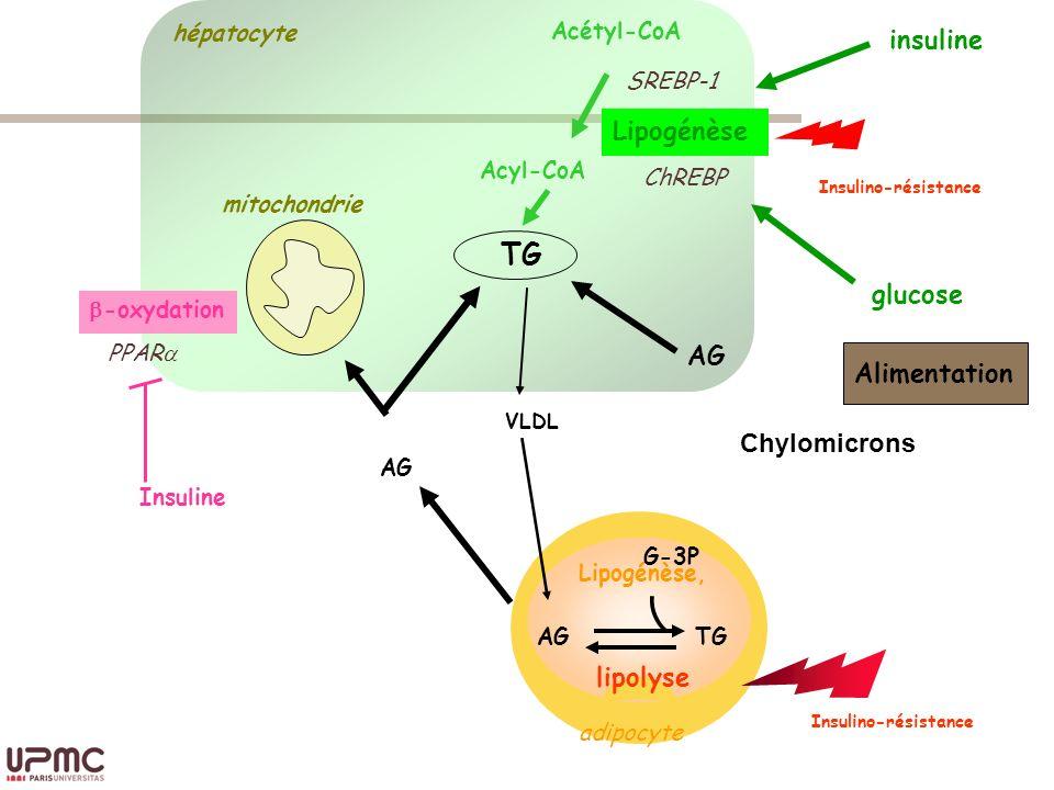 insuline Lipogénèse Insulino-résistance TG glucose AG Alimentation