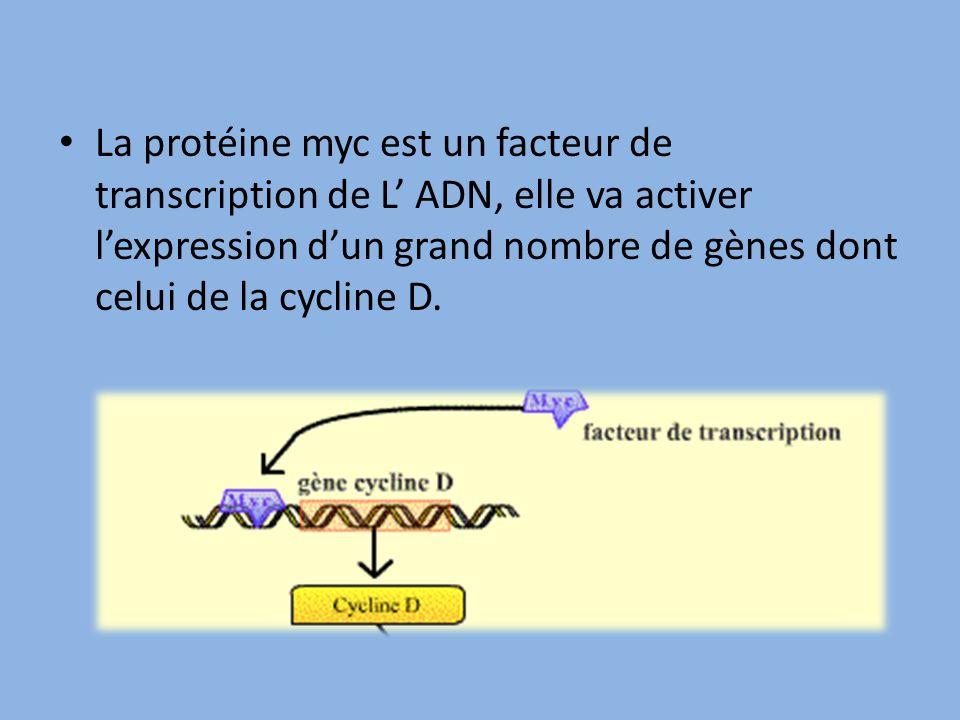 La protéine myc est un facteur de transcription de L' ADN, elle va activer l'expression d'un grand nombre de gènes dont celui de la cycline D.