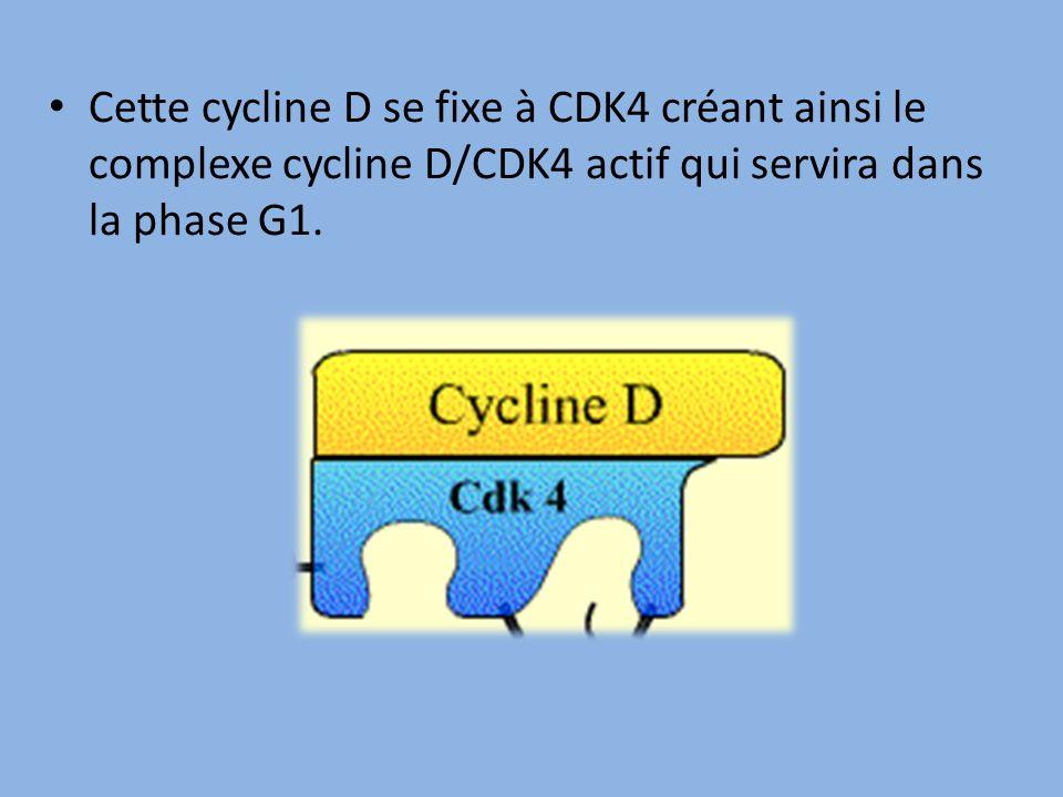 Cette cycline D se fixe à CDK4 créant ainsi le complexe cycline D/CDK4 actif qui servira dans la phase G1.