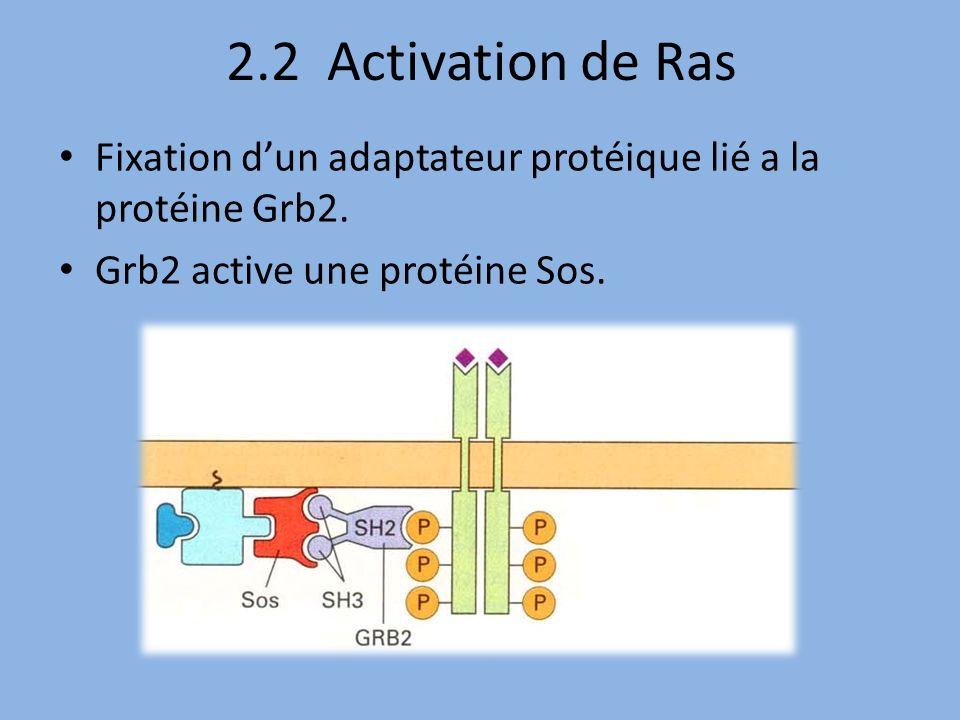 2.2 Activation de Ras Fixation d'un adaptateur protéique lié a la protéine Grb2.