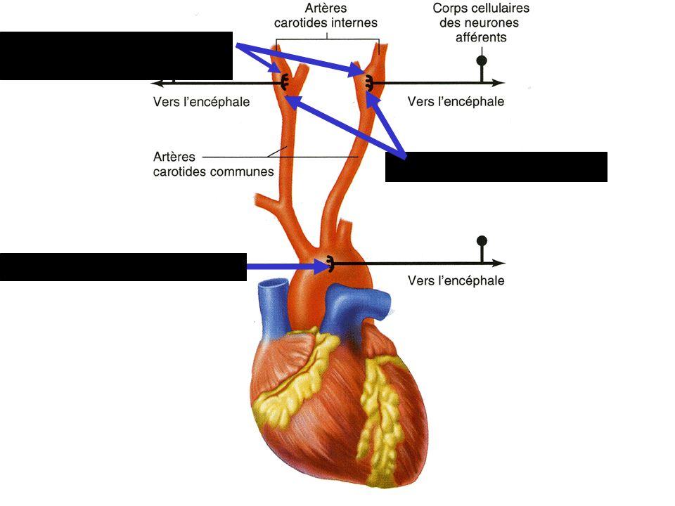 Corpuscules carotidiens Corpuscules aortiques