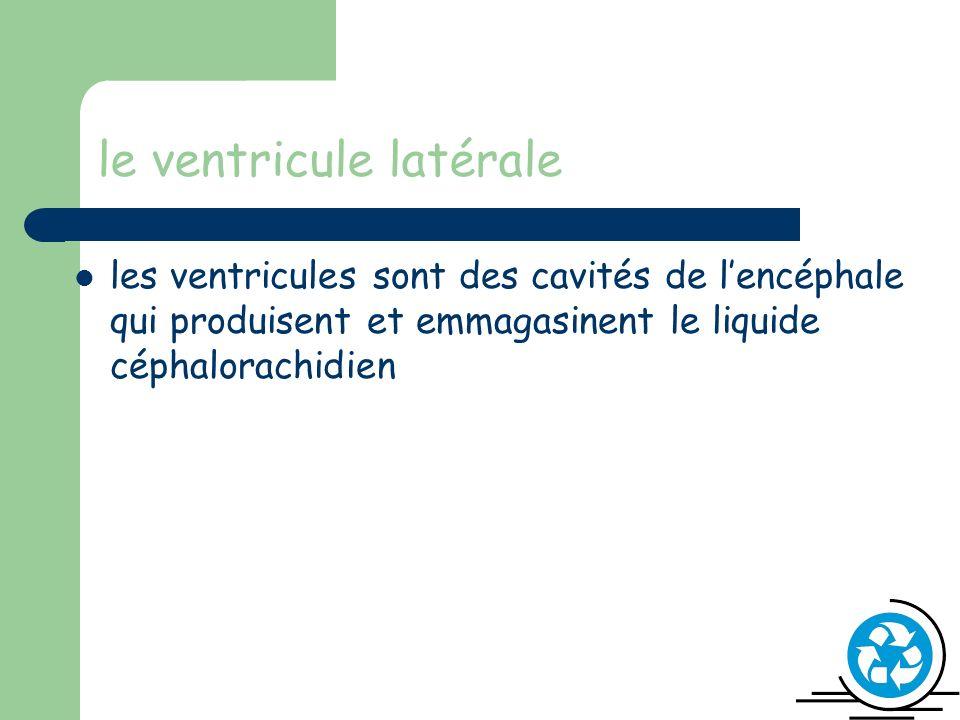 le ventricule latérale