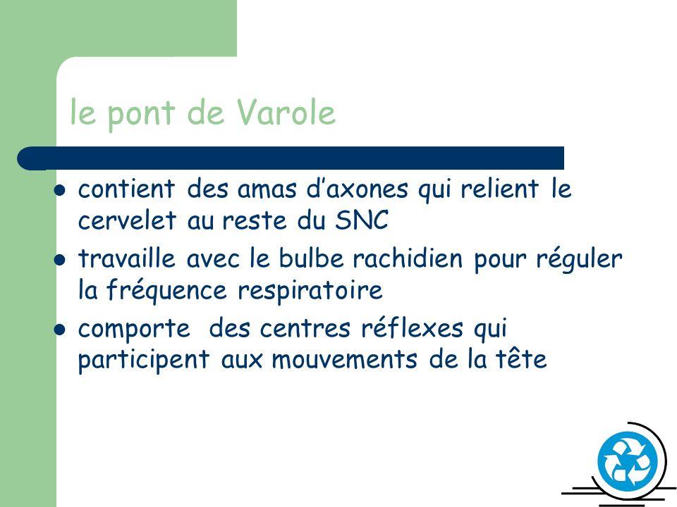 le pont de Varole contient des amas d'axones qui relient le cervelet au reste du SNC.