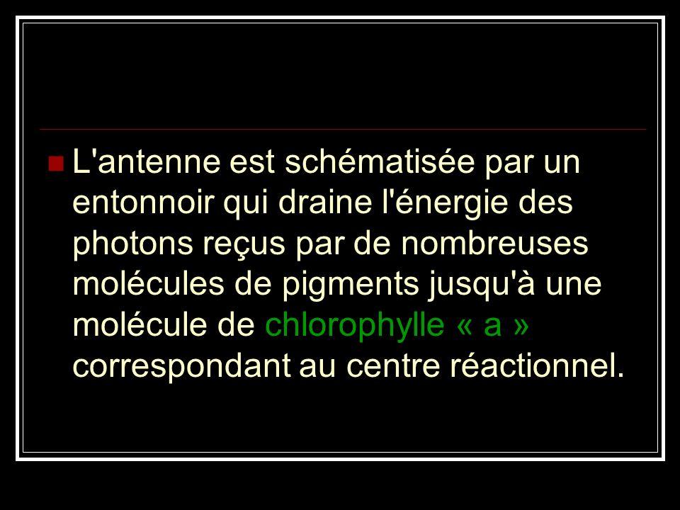 L antenne est schématisée par un entonnoir qui draine l énergie des photons reçus par de nombreuses molécules de pigments jusqu à une molécule de chlorophylle « a » correspondant au centre réactionnel.