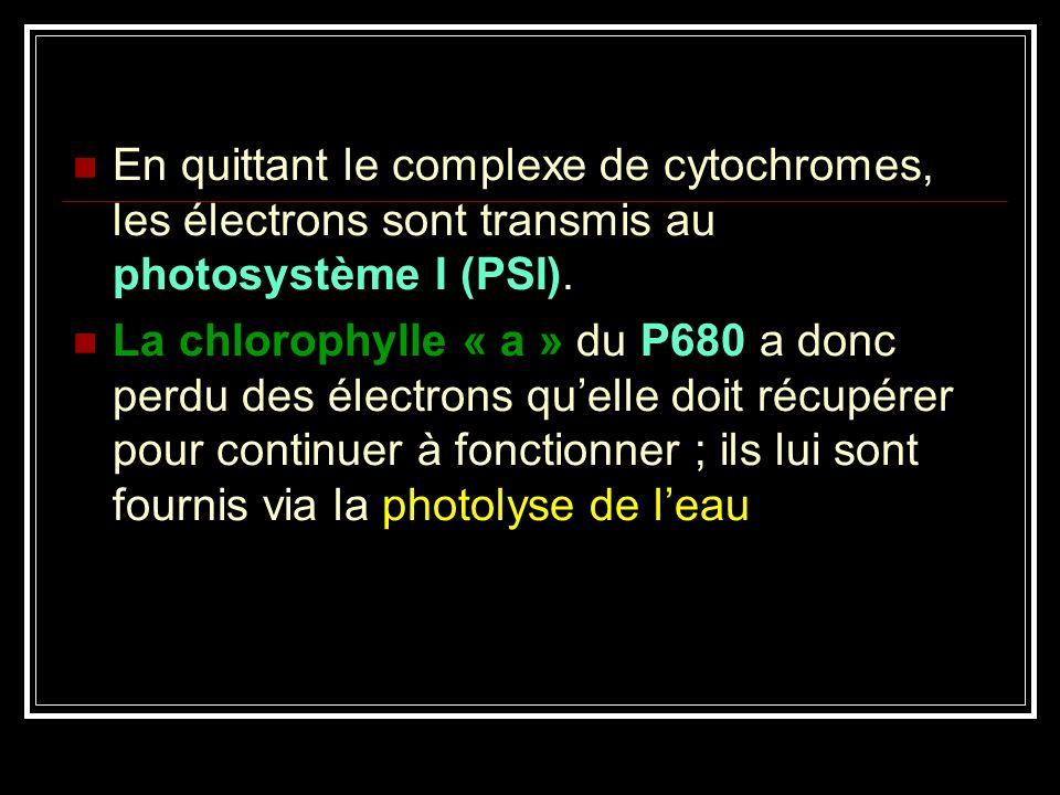En quittant le complexe de cytochromes, les électrons sont transmis au photosystème I (PSI).