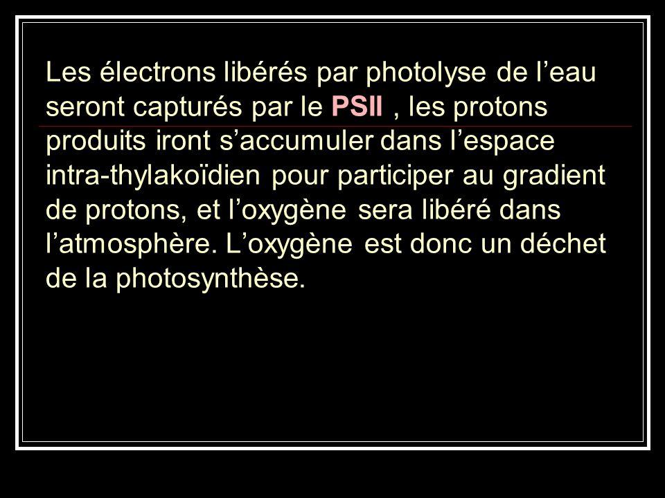 Les électrons libérés par photolyse de l'eau seront capturés par le PSII , les protons produits iront s'accumuler dans l'espace intra-thylakoïdien pour participer au gradient de protons, et l'oxygène sera libéré dans l'atmosphère.
