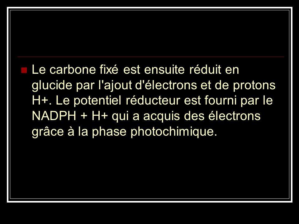 Le carbone fixé est ensuite réduit en glucide par l ajout d électrons et de protons H+.