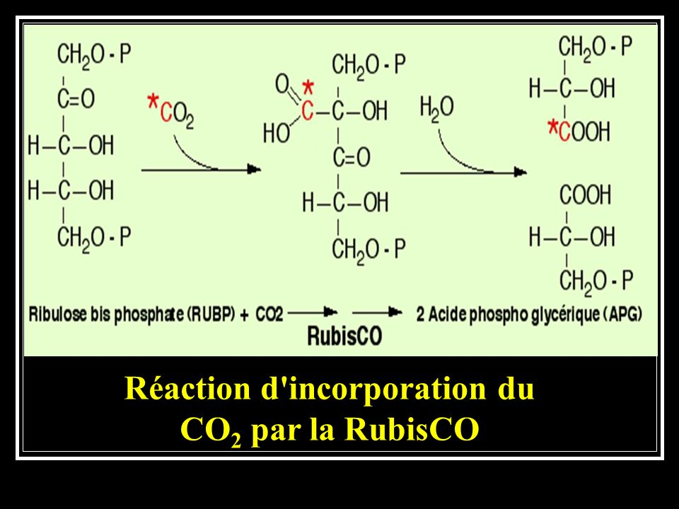 Réaction d incorporation du CO2 par la RubisCO