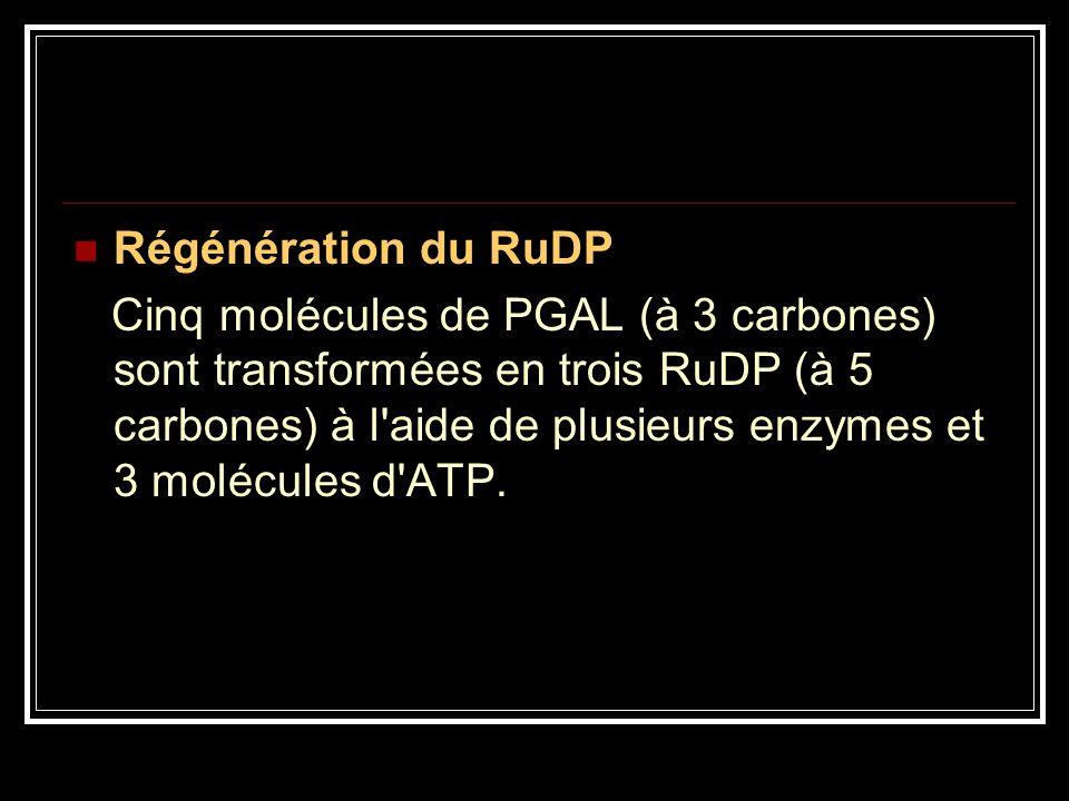 Régénération du RuDP