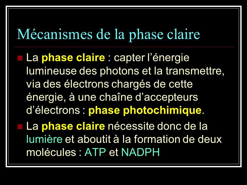 Mécanismes de la phase claire