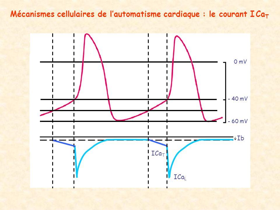 Mécanismes cellulaires de l'automatisme cardiaque : le courant I CaT