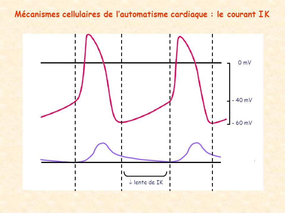 Mécanismes cellulaires de l'automatisme cardiaque : le courant I K