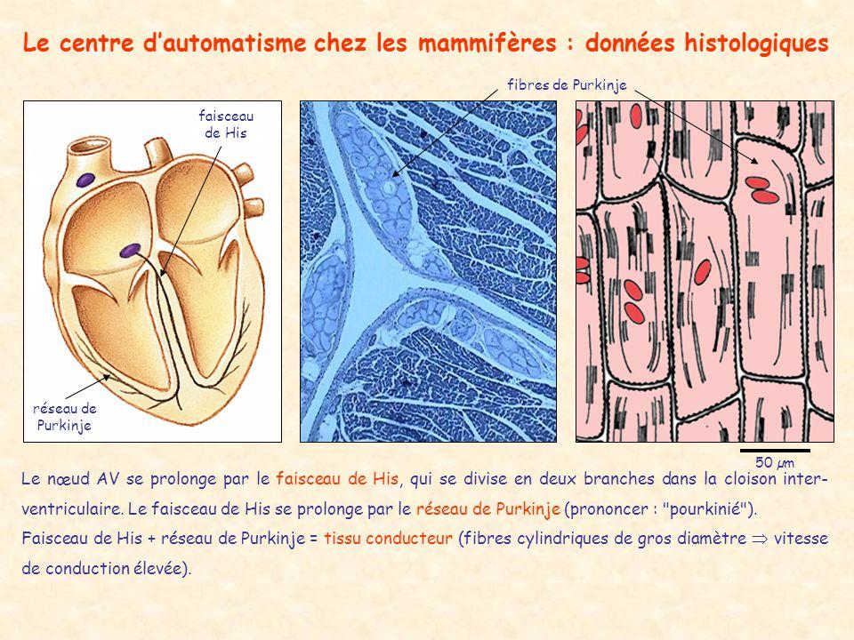 Le centre d'automatisme chez les mammifères : données histologiques