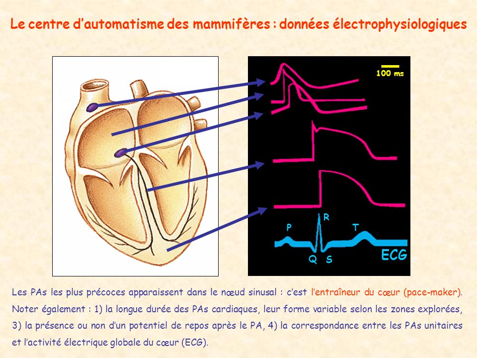 Le centre d'automatisme des mammifères : données électrophysiologiques