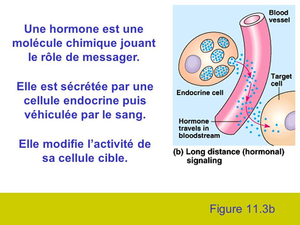 Une hormone est une molécule chimique jouant le rôle de messager.