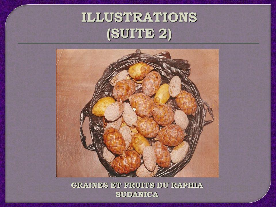 GRAINES ET FRUITS DU RAPHIA SUDANICA