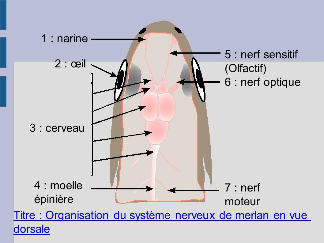 1 : narine 5 : nerf sensitif. (Olfactif) 2 : œil. 6 : nerf optique. 3 : cerveau. 4 : moelle. épinière.