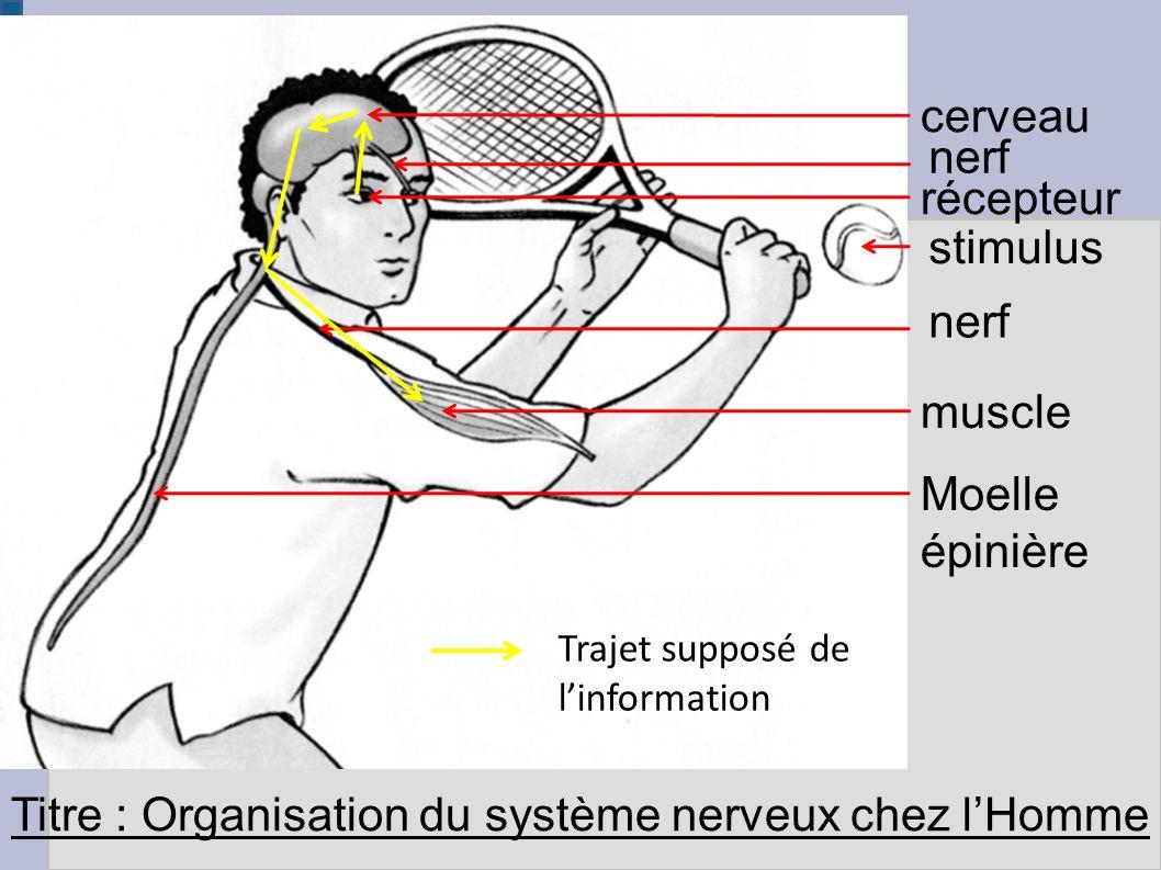 Titre : Organisation du système nerveux chez l'Homme