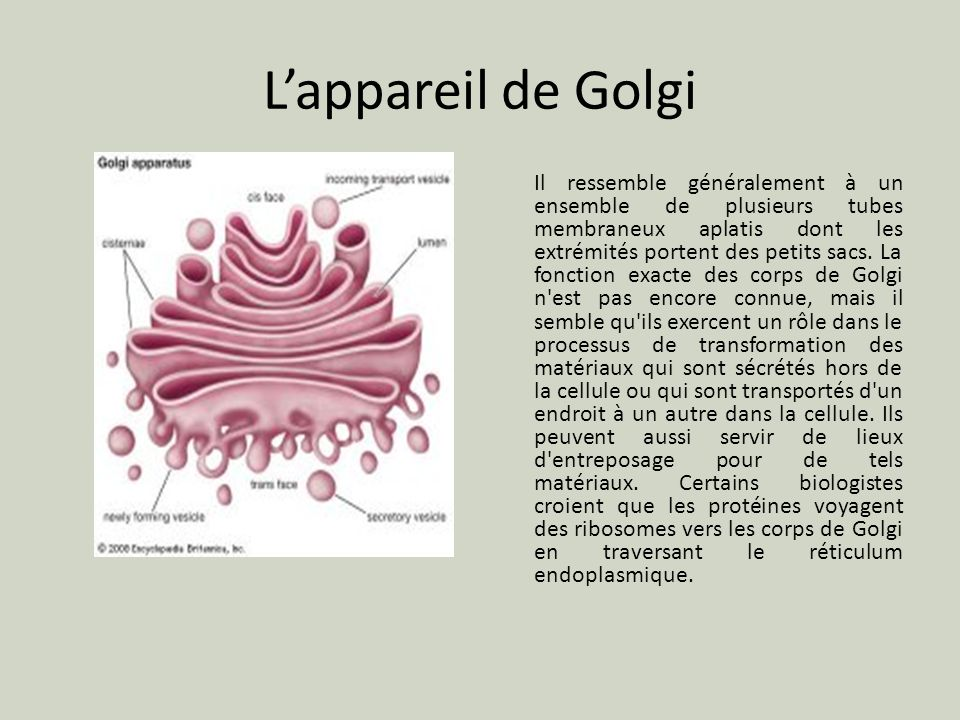 L'appareil de Golgi