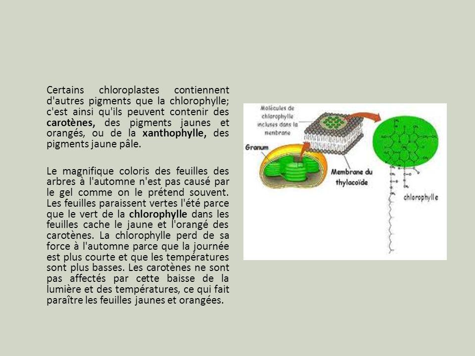 Certains chloroplastes contiennent d autres pigments que la chlorophylle; c est ainsi qu ils peuvent contenir des carotènes, des pigments jaunes et orangés, ou de la xanthophylle, des pigments jaune pâle.