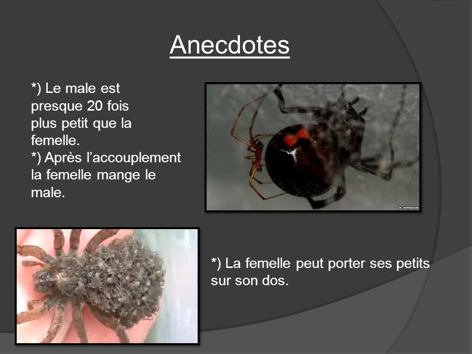 Anecdotes *) Le male est presque 20 fois plus petit que la femelle. *) Après l'accouplement la femelle mange le male.