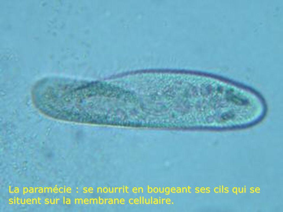 La paramécie : se nourrit en bougeant ses cils qui se situent sur la membrane cellulaire.