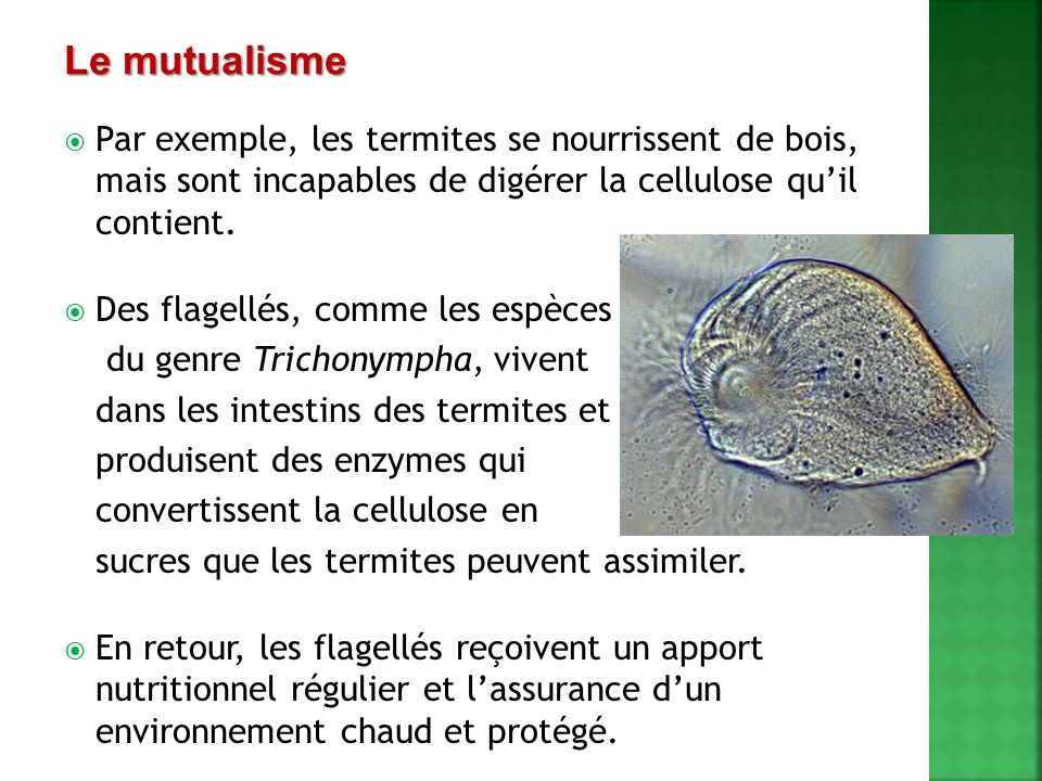 Le mutualisme Par exemple, les termites se nourrissent de bois, mais sont incapables de digérer la cellulose qu'il contient.