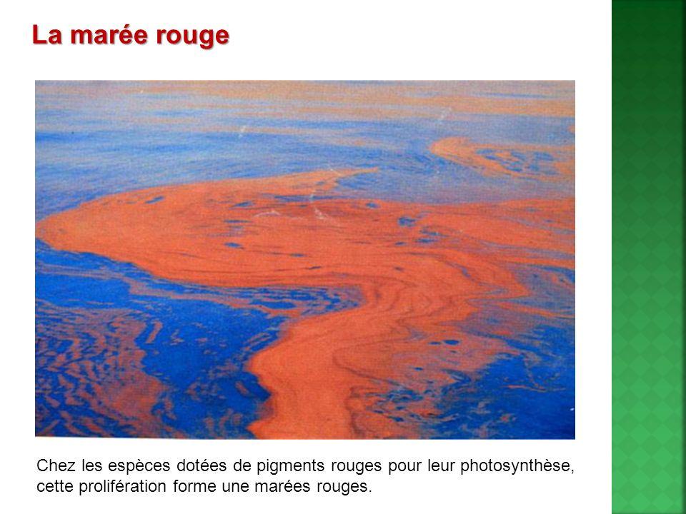La marée rouge Chez les espèces dotées de pigments rouges pour leur photosynthèse, cette prolifération forme une marées rouges.