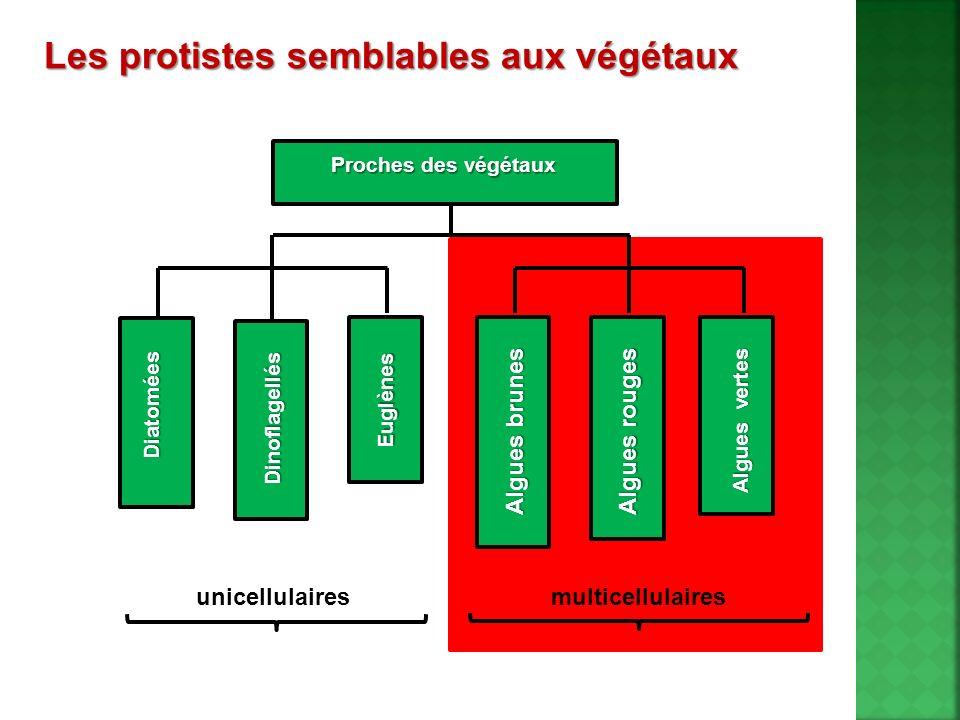 Les protistes semblables aux végétaux