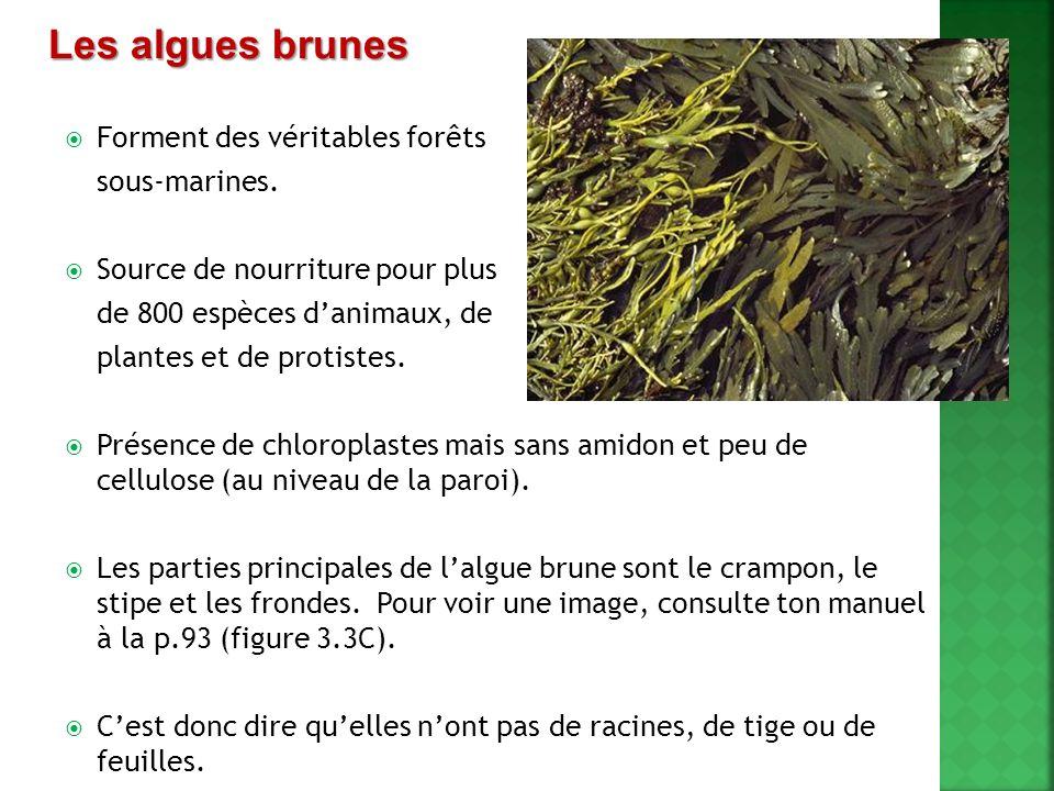 Les algues brunes Forment des véritables forêts sous-marines.