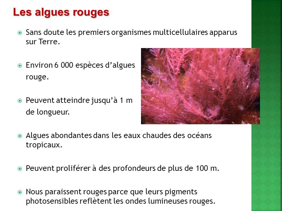 Les algues rouges Sans doute les premiers organismes multicellulaires apparus sur Terre. Environ 6 000 espèces d'algues.