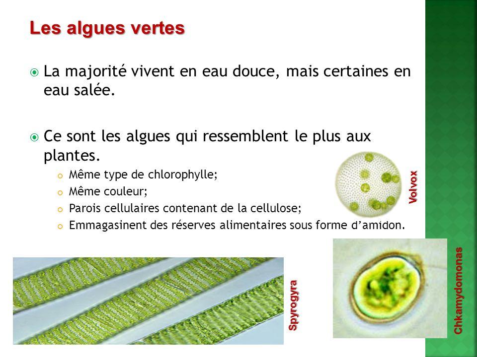 Les algues vertes La majorité vivent en eau douce, mais certaines en eau salée. Ce sont les algues qui ressemblent le plus aux plantes.