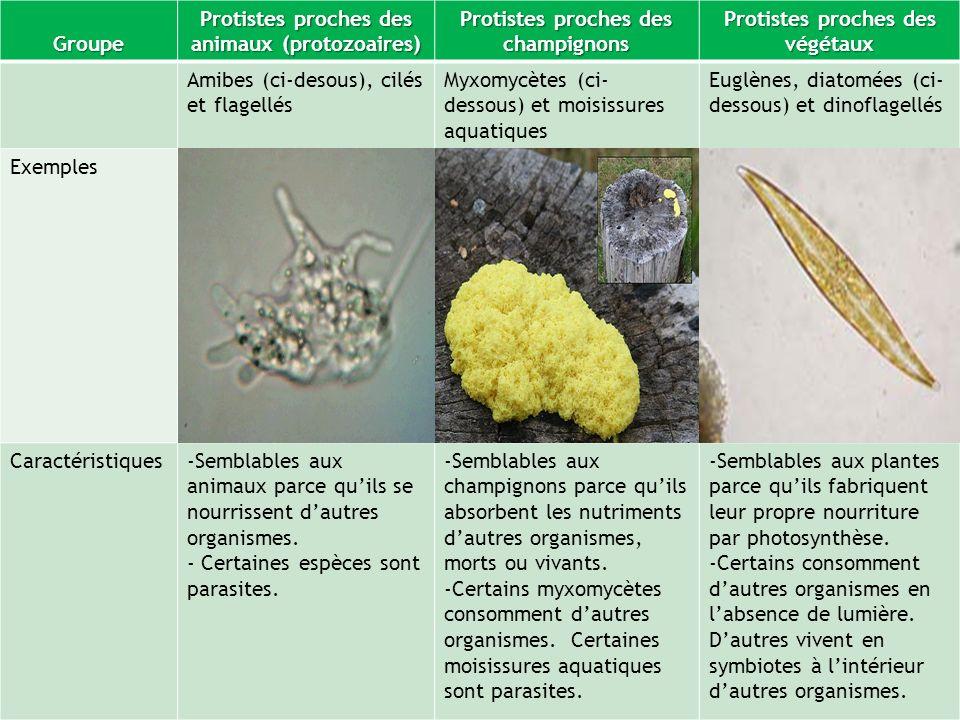 Protistes proches des animaux (protozoaires)