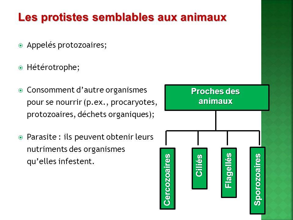 Les protistes semblables aux animaux