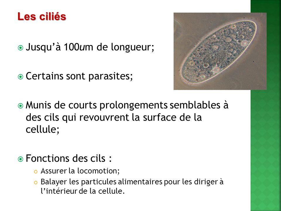 Les ciliés Jusqu'à 100um de longueur; Certains sont parasites;