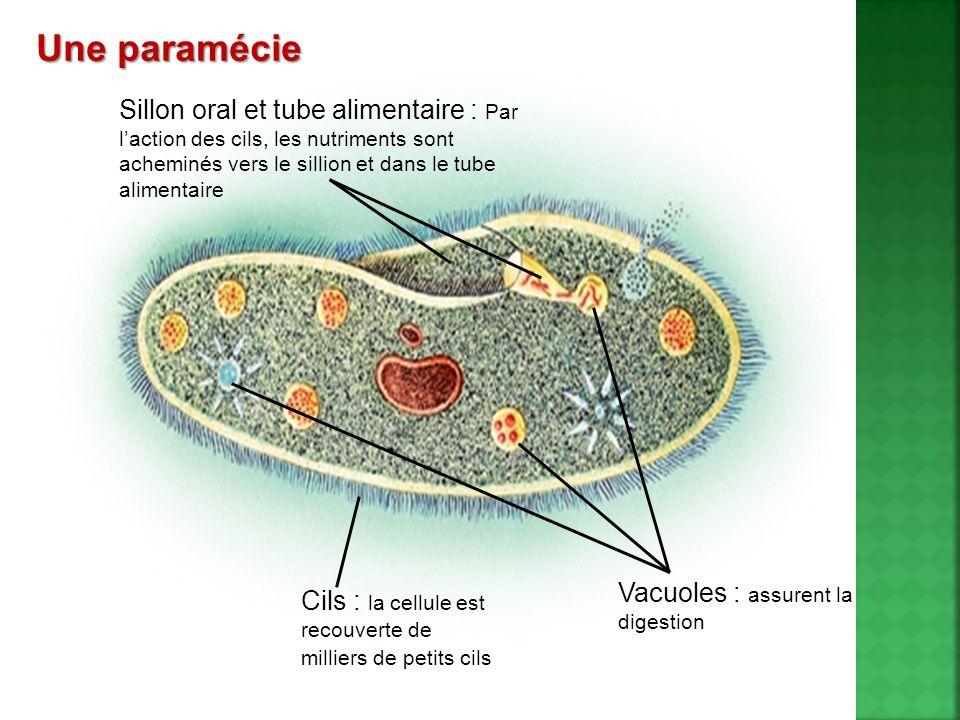Une paramécie Vacuoles : assurent la digestion. Cils : la cellule est recouverte de milliers de petits cils.