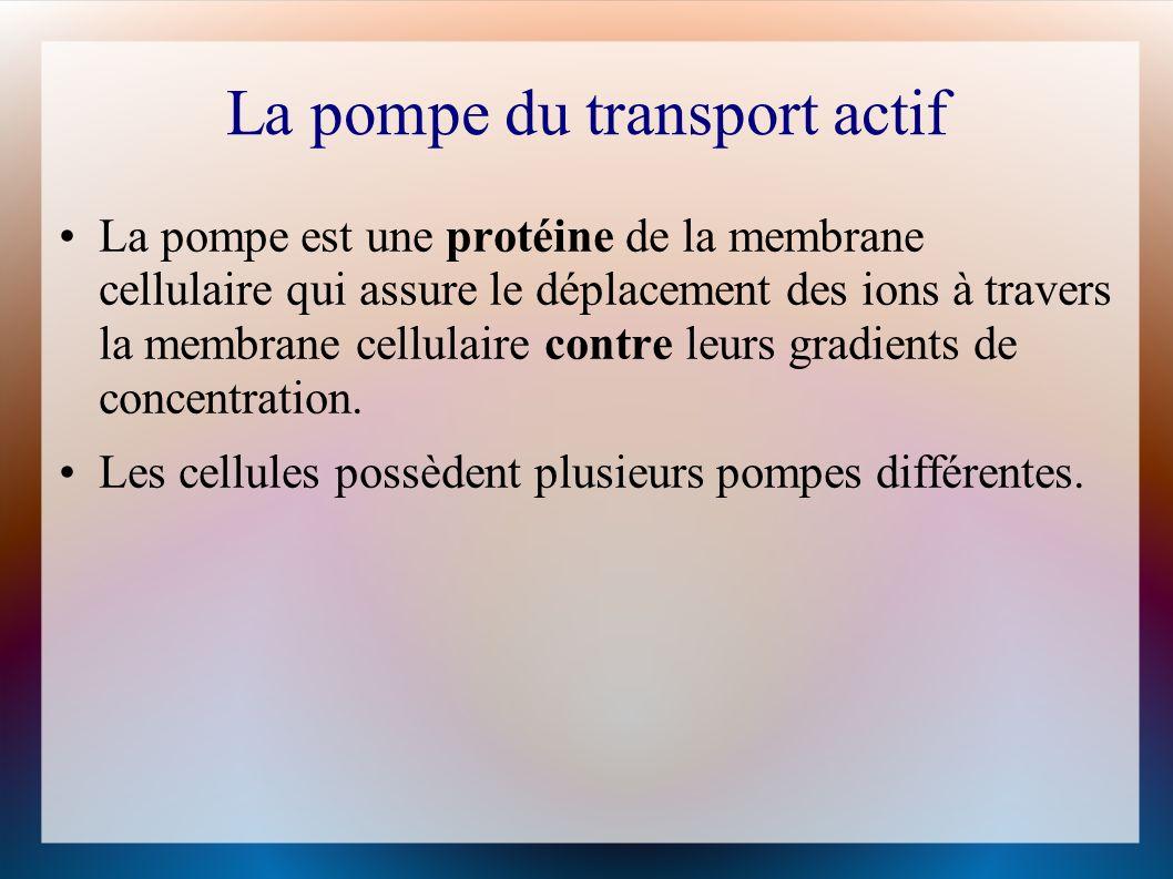 La pompe du transport actif