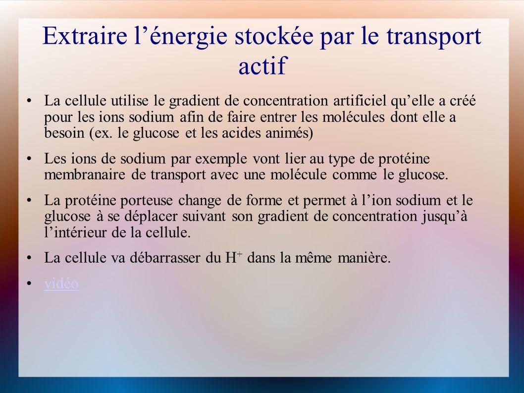 Extraire l'énergie stockée par le transport actif