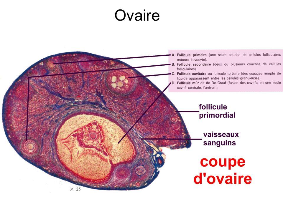 Ovaire